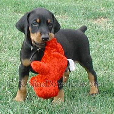 Doberman Pinscher Puppies on Doberman Pinscher Puppies For Sale  Doberman Breeders
